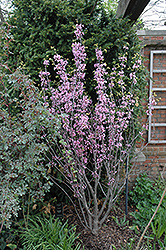 Texas Redbud (Cercis canadensis 'var. texensis') at Alsip Home and Nursery