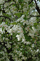 Walters Siberian Crab Apple (Malus baccata 'Walters') at Alsip Home and Nursery