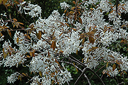 Dwarf Serviceberry (Amelanchier pumila) at Alsip Home and Nursery