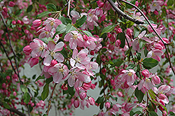Louisa Flowering Crab (Malus 'Louisa') at Alsip Home and Nursery