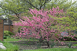 Wither's Pink Charm Redbud (Cercis canadensis 'Wither's Pink Charm') at Alsip Home and Nursery