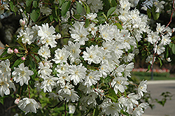 Blance Ames Flowering Crab (Malus 'Blanche Ames') at Alsip Home and Nursery
