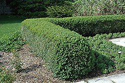 Northern Charm Boxwood (Buxus 'Wilson') at Alsip Home and Nursery
