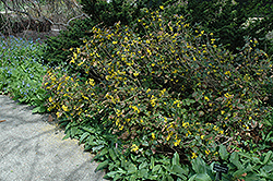 New Market Oregon Grape (Mahonia x decumbens) at Alsip Home and Nursery