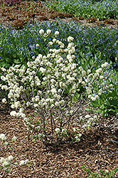May Bouquet Fothergilla (Fothergilla monticola 'KLMsixteen') at Alsip Home and Nursery