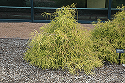 Sungold Falsecypress (Chamaecyparis pisifera 'Sungold') at Alsip Home and Nursery