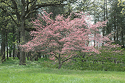 Sweetwater Red Flowering Dogwood (Cornus florida 'Sweetwater Red') at Alsip Home and Nursery