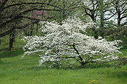 White Cloud Flowering Dogwood (Cornus florida 'White Cloud') at Alsip Home and Nursery