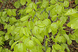 Golden Beech (Fagus sylvatica 'Zlatia') at Alsip Home and Nursery