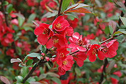 Baltzii Flowering Quince (Chaenomeles speciosa 'Baltzii') at Alsip Home and Nursery
