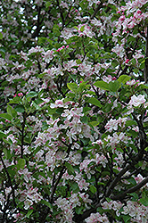 Rivers Flowering Crab (Malus spectabilis 'Riversii') at Alsip Home and Nursery