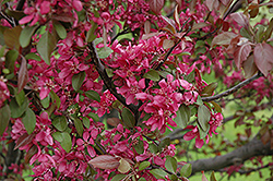 Profusion Flowering Crab (Malus 'Profusion') at Alsip Home and Nursery