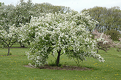 Kirk Flowering Crab (Malus 'Kirk') at Alsip Home and Nursery