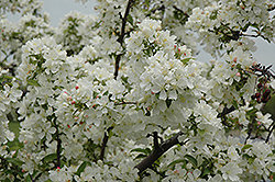 Amberina Flowering Crab (Malus 'Amberina') at Alsip Home and Nursery