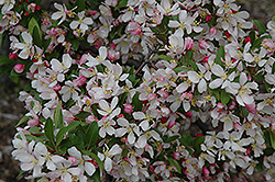 Leprechaun Flowering Crab (Malus 'Leprechaun') at Alsip Home and Nursery