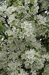 Donald Wyman Flowering Crab (Malus 'Donald Wyman') at Alsip Home and Nursery