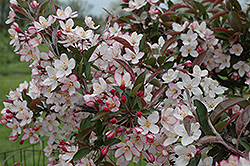 May's Delight Flowering Crab (Malus 'May's Delight') at Alsip Home and Nursery