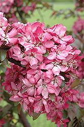 American Masterpiece Flowering Crab (Malus 'American Masterpiece') at Alsip Home and Nursery