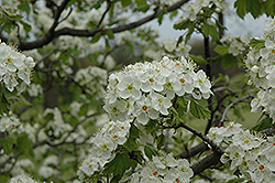 Downy Hawthorn (Crataegus mollis) at Alsip Home and Nursery
