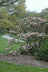 George Henry Kern Magnolia (Magnolia 'George Henry Kern') at Alsip Home and Nursery