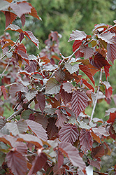 Purple Haze Hazelnut (Corylus 'Purple Haze') at Alsip Home and Nursery