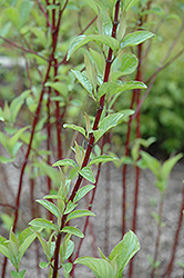 Alleman's Compact Dogwood (Cornus sericea 'Alleman's Compact') at Alsip Home and Nursery
