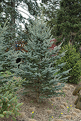 Iseli Foxtail Spruce (Picea pungens 'Iseli Foxtail') at Alsip Home and Nursery
