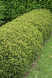 Green Gem Boxwood (Buxus 'Green Gem') at Alsip Home and Nursery