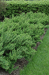 Upright Japanese Barberry (Berberis thunbergii 'Erecta') at Alsip Home and Nursery