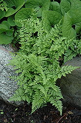Brittle Bladder Fern (Cystopteris fragilis) at Alsip Home and Nursery