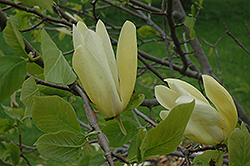 Limelight Magnolia (Magnolia 'Limelight') at Alsip Home and Nursery