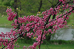 Pinkbud Redbud (Cercis canadensis 'Pinkbud') at Alsip Home and Nursery