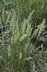 Prairie June Grass (Koeleria pyramidata) at Alsip Home and Nursery
