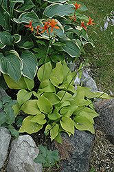 Krugerrand Hosta (Hosta 'Krugerrand') at Alsip Home and Nursery