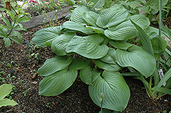 Fried Green Tomatoes Hosta (Hosta 'Fried Green Tomatoes') at Alsip Home and Nursery
