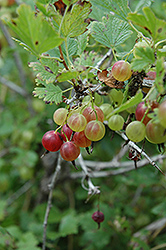 Pixwell Gooseberry (Ribes 'Pixwell') at Alsip Home and Nursery