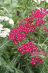 Fire King Yarrow (Achillea millefolium 'Fire King') at Alsip Home and Nursery