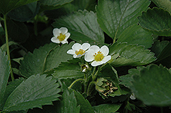 Everbearing Strawberry (Fragaria 'Everbearing') at Alsip Home and Nursery