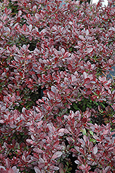 Cherry Bomb Japanese Barberry (Berberis thunbergii 'Monomb') at Alsip Home and Nursery