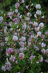 Purple Broom (Cytisus purpureus) at Alsip Home and Nursery
