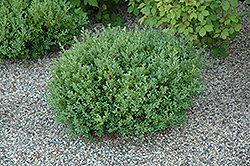 Saskatoon Boxwood (Buxus 'Saskatoon') at Alsip Home and Nursery