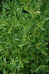 Boxleaf Euonymus (Euonymus japonicus 'Grandifolius') at Alsip Home and Nursery