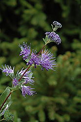 Blue Mist Caryopteris (Caryopteris x clandonensis 'Blue Mist') at Alsip Home and Nursery