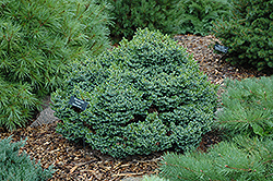 Pimoko Spruce (Picea omorika 'Pimoko') at Alsip Home and Nursery