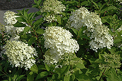 Little Lamb Hydrangea (Hydrangea paniculata 'Little Lamb') at Alsip Home and Nursery