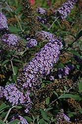 Butterfly Heaven Butterfly Bush (Buddleia davidii 'Butterfly Heaven') at Alsip Home and Nursery