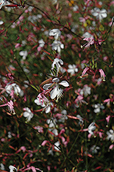 Snowstorm Gaura (Gaura lindheimeri 'Snowstorm') at Alsip Home and Nursery