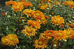Grace Chrysanthemum (Chrysanthemum 'Grace') at Alsip Home and Nursery