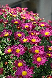 Priscilla Chrysanthemum (Chrysanthemum 'Priscilla') at Alsip Home and Nursery
