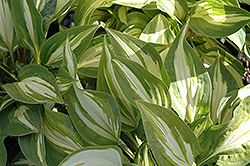 Peanut Hosta (Hosta 'Peanut') at Alsip Home and Nursery
